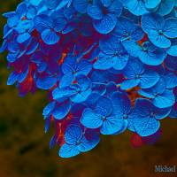 Blue Gold - Amazing Pictures Flowers by Michael Taggart Photography