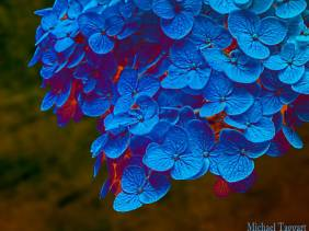 Blue Gold - Flowers - Amazing Pictures by Michael Taggart Photography