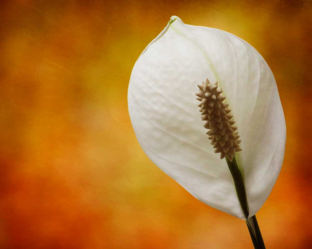 Tuscan Lily - Flowers - Amazing Pictures by Michael Taggart Photography