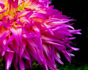 Purple Flames - Flowers - Amazing Pictures by Michael Taggart Photography
