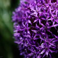 Purple Star Cluster - Amazing Pictures Flowers by Michael Taggart Photography