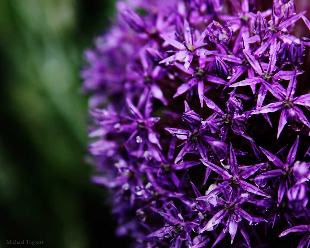 Purple Star Clusters - Flowers - Amazing Pictures by Michael Taggart Photography