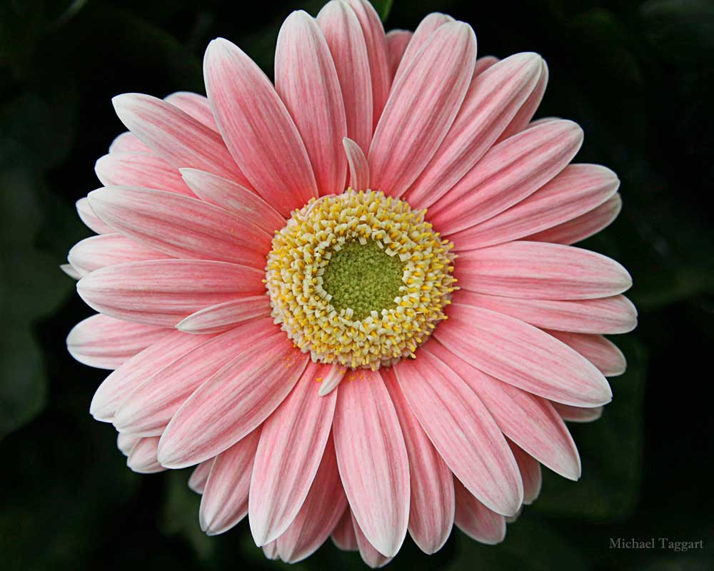 Simple Pretty - Flowers - Amazing Pictures by Michael Taggart Photography
