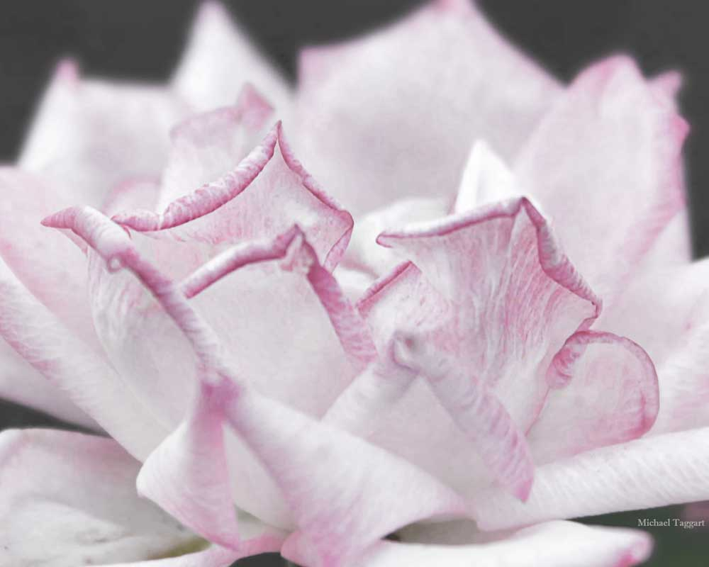 Tempest Tossed Purple Rose - Flowers - Amazing Pictures by Michael Taggart Photography