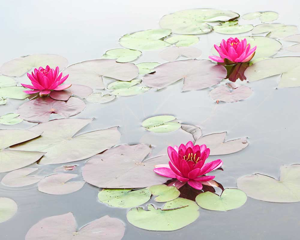 Water Lilies in the Morning - Flowers - Amazing Pictures by Michael Taggart Photography