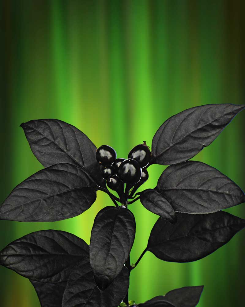Black Berries and Northern Lights - Flowers - Amazing Pictures by Michael Taggart Photography