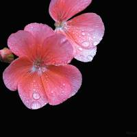 Pink on Black - Amazing Pictures Flowers by Michael Taggart Photography