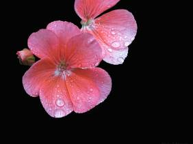 Pink on Black- Flowers - Amazing Pictures by Michael Taggart Photography