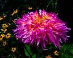 Purple Flames and Black Eyes - Flowers - Amazing Pictures by Michael Taggart Photography