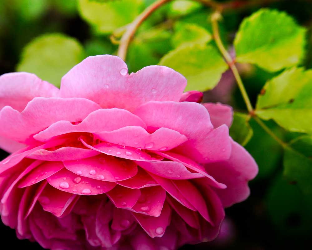 Ring Around the Rose  - Flowers - Amazing Pictures by Michael Taggart Photography