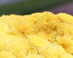 Bed of Sunshine - Flowers - Amazing Pictures by Michael Taggart Photography
