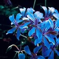 Blue Sisters - Amazing Pictures Flowers by Michael Taggart Photography