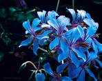 Blue Sisters - Flowers - Amazing Pictures by Michael Taggart Photography