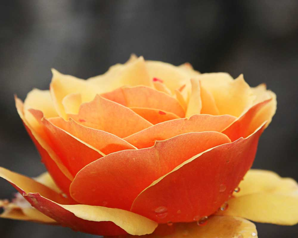 Butter Orange Rose - Flowers - Amazing Pictures by Michael Taggart Photography
