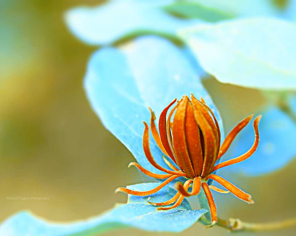 Octopus Flower Fable  - Flowers - Amazing Pictures by Michael Taggart Photography