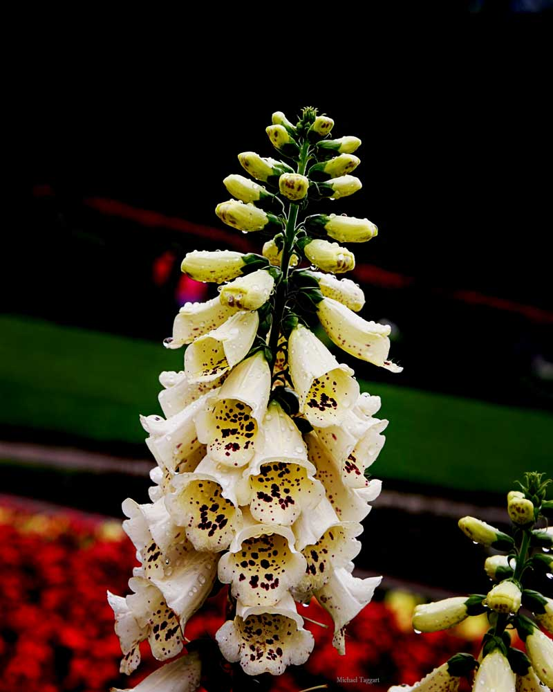 White Bells - Flowers - Amazing Pictures by Michael Taggart Photography