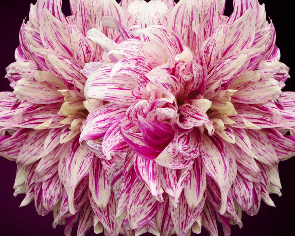 Petals Gone Wild - Flowers - Amazing Pictures by Michael Taggart Photography