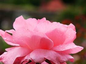 Raindrops on Roses - Flowers - Amazing Pictures by Michael Taggart Photography